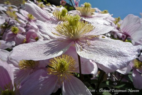 mantener frescas las raíces de Clematis