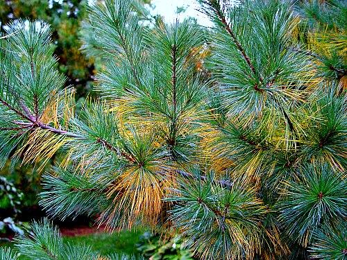 Do Pine Needles Acidify Soil Garden Myths