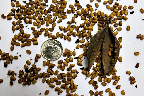 Germinación de Baptisia australis a partir de semillas