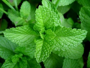 Mint (Metha species)