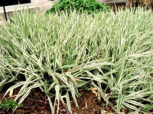 Hierba Hierba (Phalaris arundinacea)