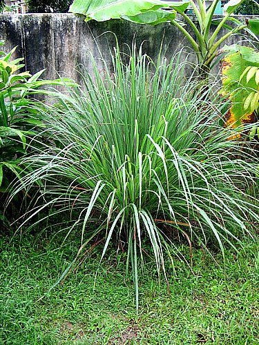 Citronella plant keeps mosquitoes away - Garden Myths