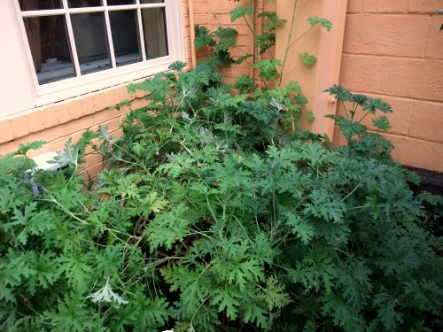 Citronella Plant Keeps Mosquitoes Away Garden Myths