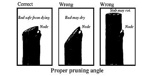 Right way to make pruning cuts