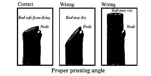 Forma correcta de hacer cortes de poda.