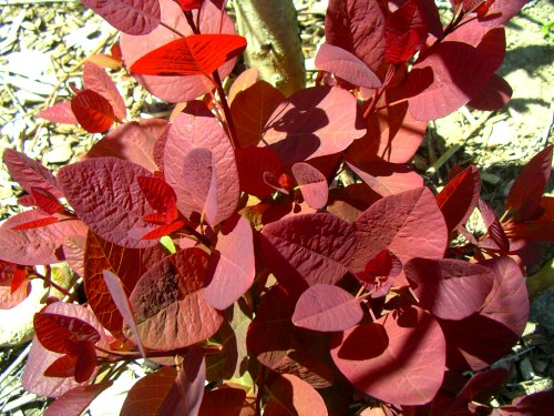 Pruning Shrubs - Cotinus coggygria 'Grace'