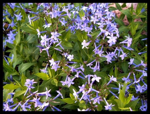 Amsonia 'Blue Ice'