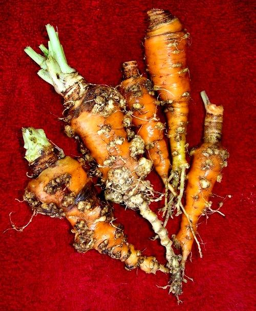 nematodos y caléndulas - nematodos agalladores en zanahorias