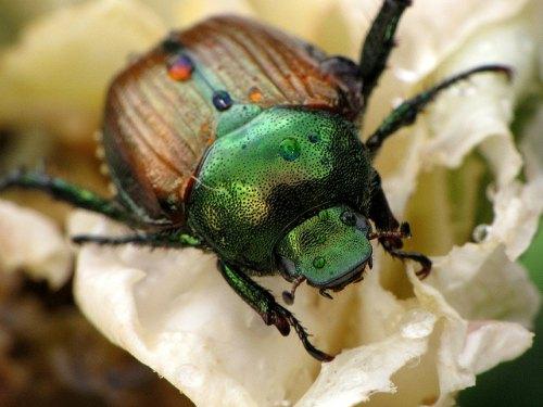 Escarabajo japonés - Control de plagas compuesto