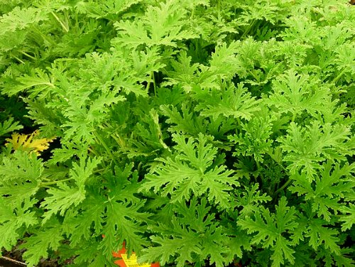 Mosquito Plant Pelargonium Citrosum The Citrosa Plant