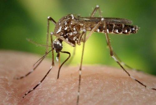 Mosquitos repelidos por plantas aromáticas