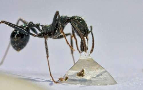 Hormigas y menta
