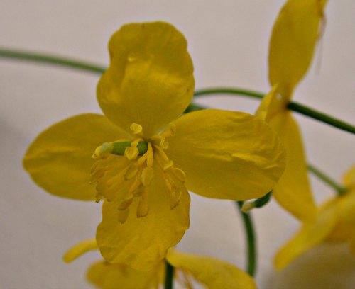 Flor de Chelidonium majus