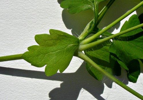 Hoja de pedúnculo de Chunidonium majus
