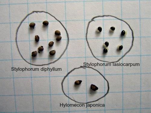 Comparación de semillas de Hylomecon japonica