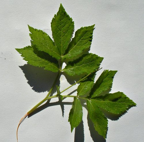 Hylomecon japonica dos hojas