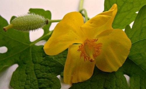 Flor de Stylophorum diphyllum