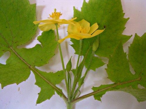 Stylophorum lasiocarpum flores y hojas