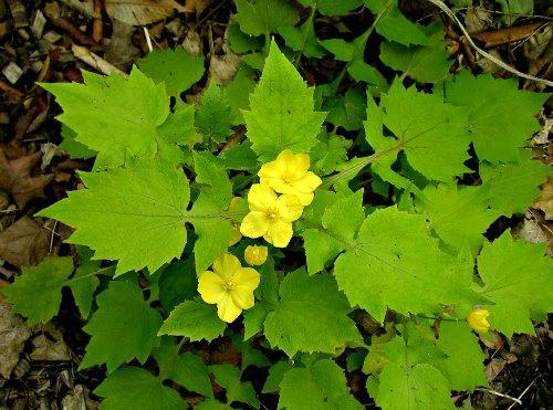 Planta de Stylophorum lasiocarpum