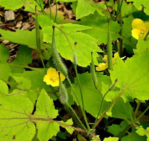 Vainas de semillas de Stylophorum lasiocarpum