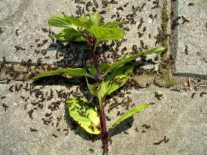 Des fourmis rampant sur des feuilles de menthe