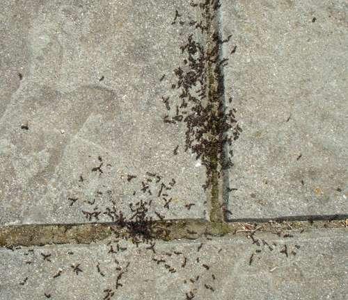 hormigas y hojas de menta antes