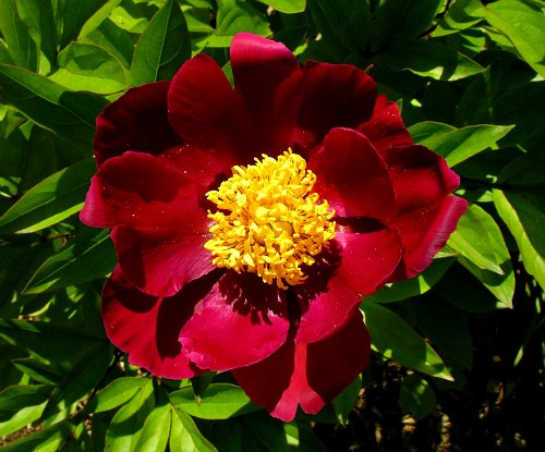 double dormancy, Peony grown from seed, by Robert Pavlis