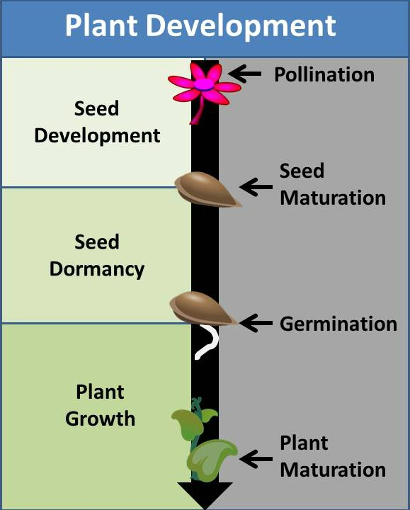 seed doemancy, plant development diagram, gardenmyths