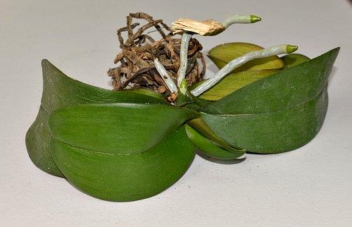 Orquídea sin agua - día 24, por Robert Pavlis