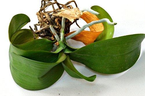 Orquídea sin agua - día 48, por Robert Pavlis