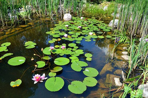 Beneficial pond bacteria a waste of money garden myths for Natural koi pond