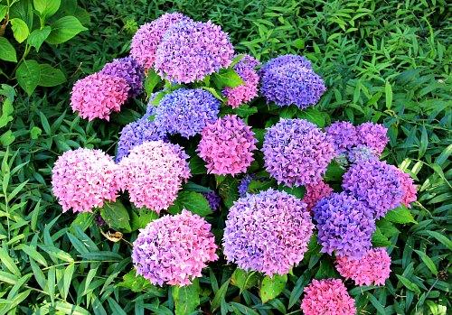 Hydrangea myths, is it blue or pink?