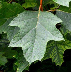 Hydrangea Myths - Garden Myths