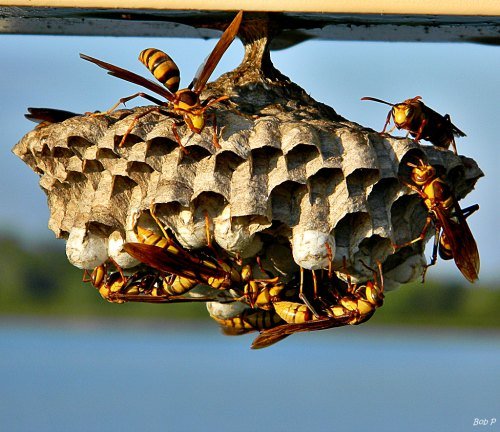 Paper wasp nest being built - 10 Wasp Myths That Will Surprise You