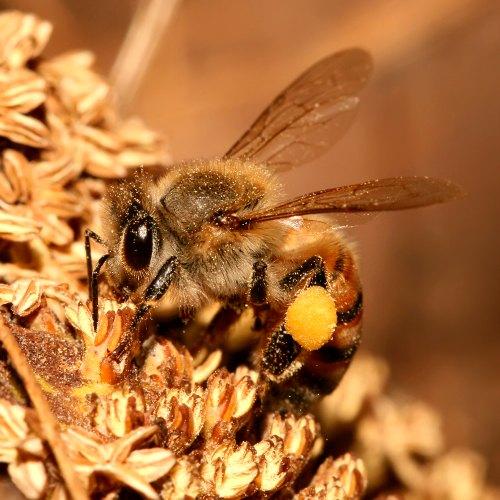 ¿Es una abeja melífera o una abeja nativa?