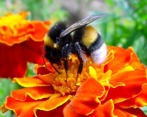 ¿Están muriendo las abejas nativas?  Abeja en flor