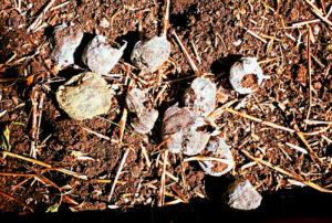Gránulos Jiffy-7 completamente intactos un año después de ser plantados
