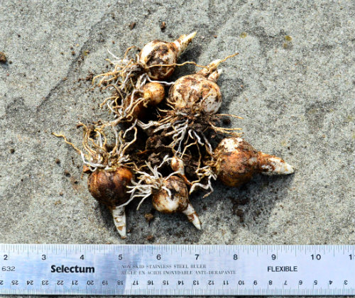 Daffodil bulbs showing root and stem growth Oct 9, by Robert Pavlis