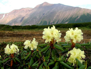 Rhododendrons need acid soil and peat moss is commonly recommended as an additive to acidify soil.