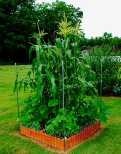 Three Sisters Agriculture An Example Of Companion Planting