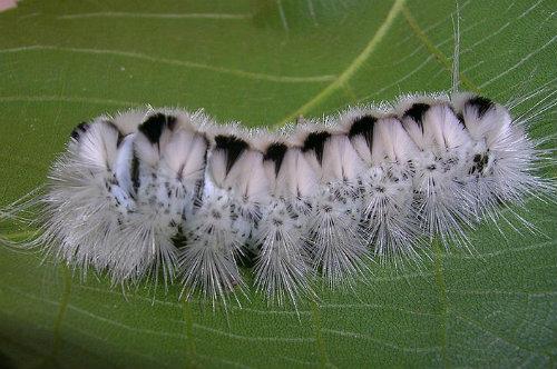 Hickory Tussock Moth Caterpillar - ¿Es venenosa?