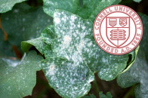 Bicarbonato de sodio, un fungicida remedio casero - la fórmula de Cornell