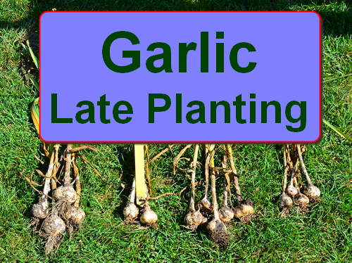 Planting Garlic - How Late is Too Late? - Garden Myths