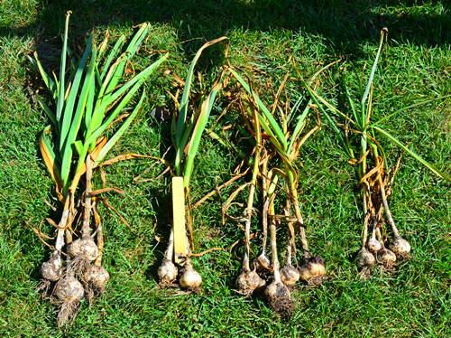Ajo plantado a principios de octubre, noviembre, diciembre y marzo (de izquierda a derecha), por Robert Pavlis