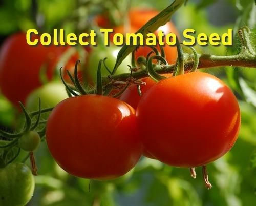 Fermentación de la semilla de tomate: ¿es necesaria?