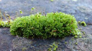 musgo que crece en la roca
