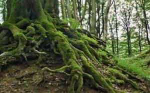 Mito del musgo: el musgo solo crece en el lado norte de un árbol