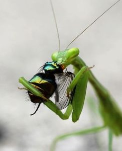Praying Mantis Egg Case Should You Buy Them Garden Myths