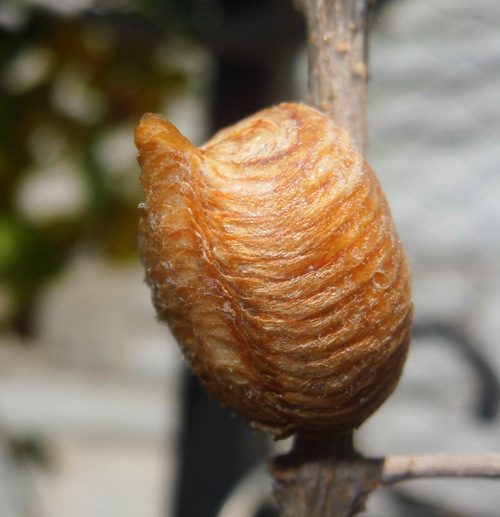 Image result for image of a praying mantis cocoon