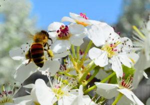 Todas las abejas y otros polinizadores estaban en los perales.
